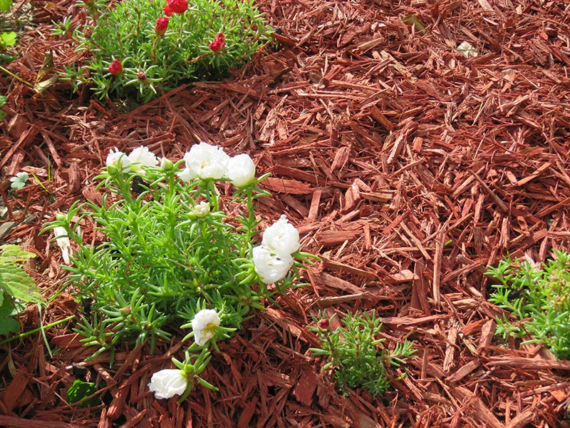 Copeaux mulch color rouge